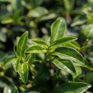 Odmian herbaty czarnej może być naprawdę wiele. Zależnie od ilości upraw, każdy z krzewów może mieć nieco inny aromat i różną intensywność. Fot. English Tea Shop Polska