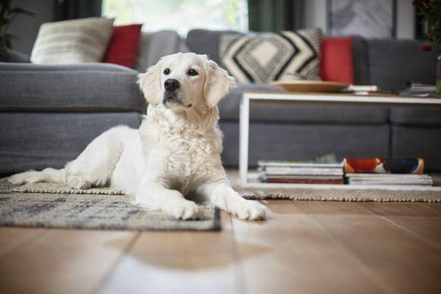 Kichanie, katar, zmiany skórne i łzawienie oczu jako reakcja na psa? To wyjątkowo przykry wariant alergii. Jak to się dzieje, że psy uczulają i jak sobie z tym poradzić? Czy alergik może mieć zwierzęta w domu, czy lepiej tego unikać?