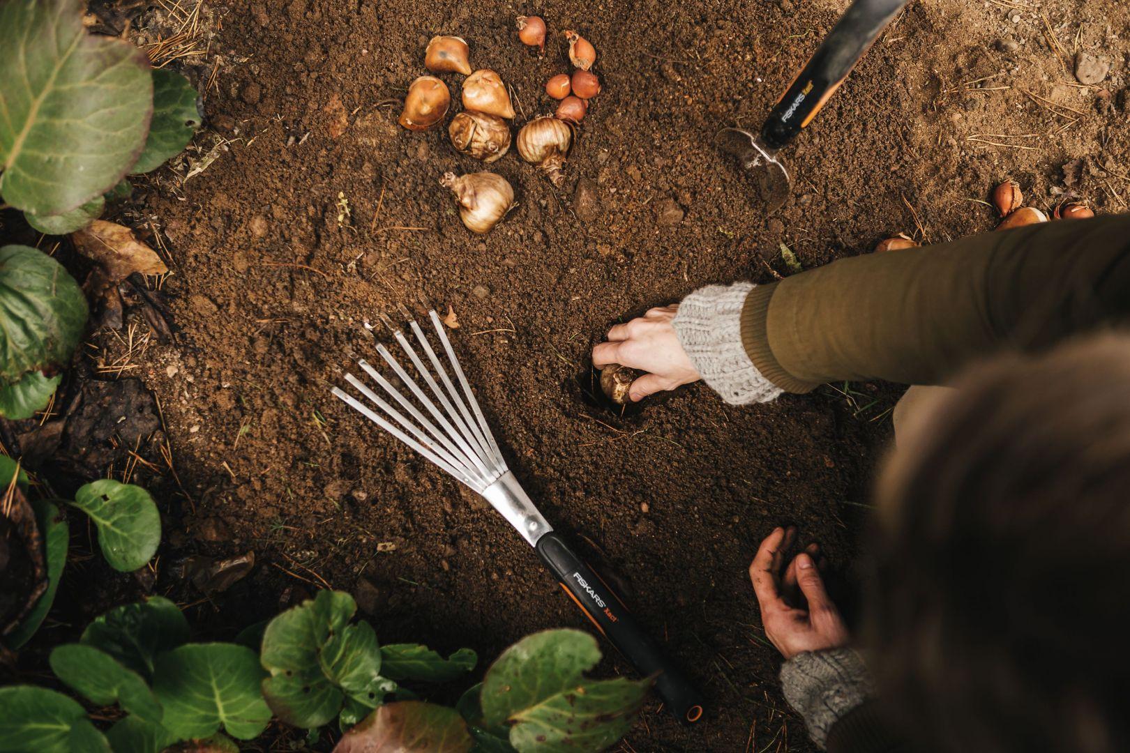 Do sadzenia tulipanów z pewnością przyda nam się szpadel, jak również łopatka. Przed ich posadzeniem, przygotujmy ziemię. Jeśli sadzimy kwiaty w grupie, podkopmy szpadlem wierzch gleby, połóżmy cebulki i przykryjmy ziemią. Fot. Fiskrs