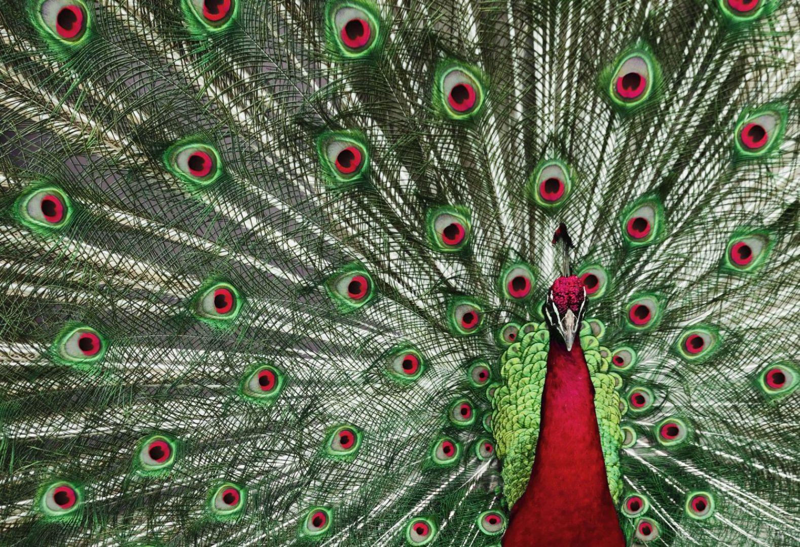 Fototapetę Peacock mozna kupić  także w wersji sapomprzylepnej. Fot.  Pixers