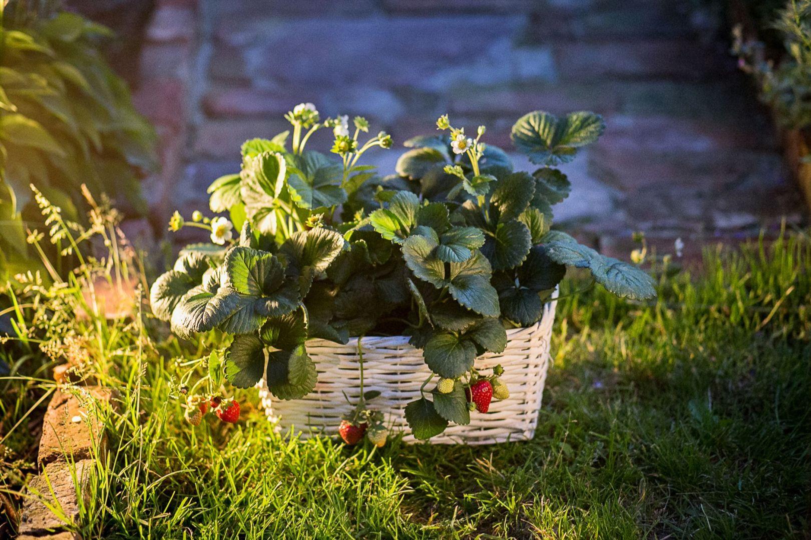 """Dla początkujących, którzy pierwszy raz próbują sił w produkcji owoców we własnym ogrodzie najlepsze będą bardziej """"przyziemne"""" rośliny, takie jak poziomki (Fragaria vesca L.) czy truskawki. Fot. Leroy Merlin"""