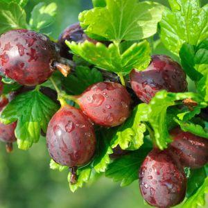 Dla amatorów kwaśnych smaków atrakcyjny będzie także agrest (Ribes uva-crispa L.) lub porzeczkoagrest (Ribes x nidigrolaria), łączący aromaty obydwu owoców. Fot. Leroy Merlin