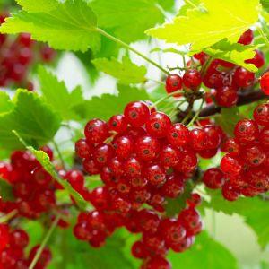 Bogatym źródłem witamin, szczególnie witaminy C są owoce czarnej porzeczki (Ribes nigrum L.). Fot. Leroy Merlin