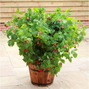 Maliny (Rubus idaeus L.) preferują miejsca słoneczne i podłoże lekko kwaśne, próchniczne. Fot. Leroy Merlin