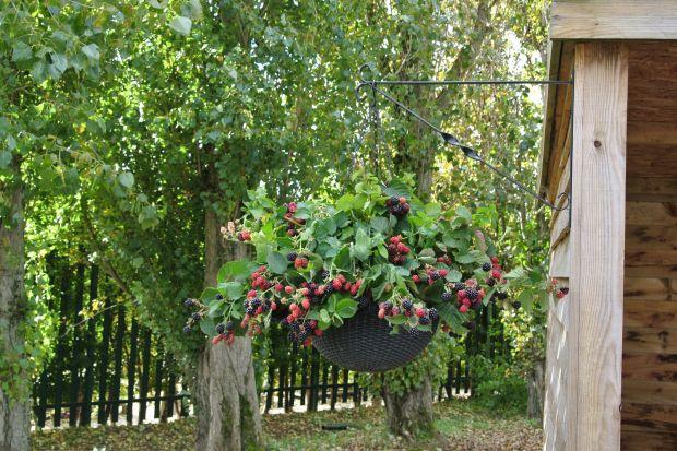 Jakie owoce warto mieć w ogrodzie? Jakie można posadzić na balkonie, na tarasie czy na działce? Wybór jest ogromny.Od popularnych truskawek czy malin, przez jabłonie i grusze, do bardziej egzotyczne pigwy czy kiwi. Podpowiadamy, jakie gatunki wybr