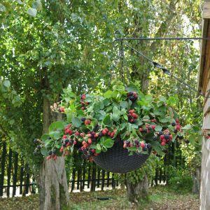 Uprawa krzewów malinowych wcale nie jest skomplikowana – zaledwie kilka roślin zapewni obfitość owoców od połowy lata do połowy jesieni. Fot. Leroy Merlin