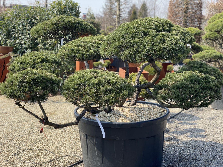 Duże krzewy formowane mogą być prawdziwą wizytówką ogrodu. Fot. M-Krzewy