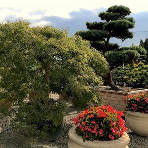 Acer Palmatum - klon palmowy. Fot. M-Krzewy