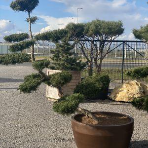 Drzewko bonsai to świetny pomysł do nowoczesnego ogrodu. Fot. M-Krzewy