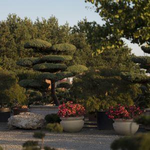Juniperus - jałowiec chiński Blue Alps. Fot. M-Krzewy