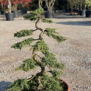 Juniperus - jałowiec pospolity Green Carpet. Fot. M-Krzewy
