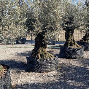 Drzewko oliwne - można je spotkać nawet w ogrodach w Polsce. Fot. M-Krzewy