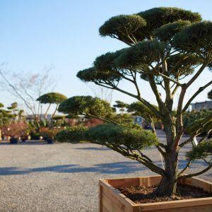 Pinus - sosna Norske Typ. Fot. M-Krzewy