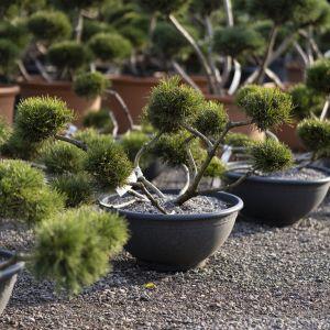 Sosna kosodrzewina - Pinus Mugo. Fot. M-Krzewy