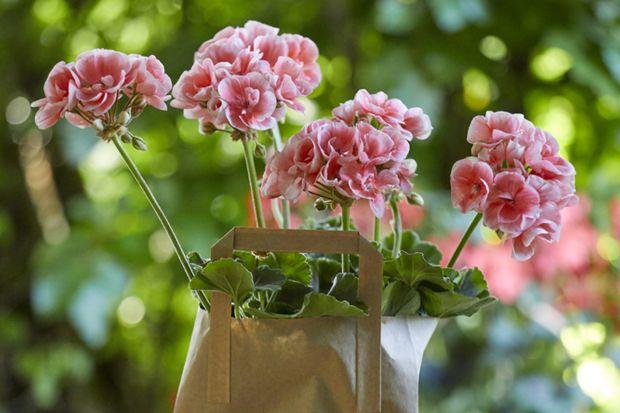 Pelargonie nie przychodzą w pierwszej kolejności na myśl, gdy chcemy podarować komuś kwiaty. Te łatwe w pielęgnacji, kwitnące piękności są jednak wspaniałym, kwiatowym prezentem w okresie letnim. Zarówno na Dzień Ojca, dla nauczyciela na zak