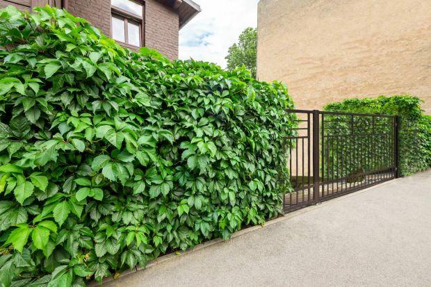 Zielone ogrodzenia jest nie tylko piękne, ale też ekologiczne. Nic więc dziwnego, że stały się znów modne. Świetnie pasują zarówno do nowoczesnego domu, jak i bardziej tradycyjnego. Jak więc stworzyć efektowną, naturalną przegrodę? Podpowia