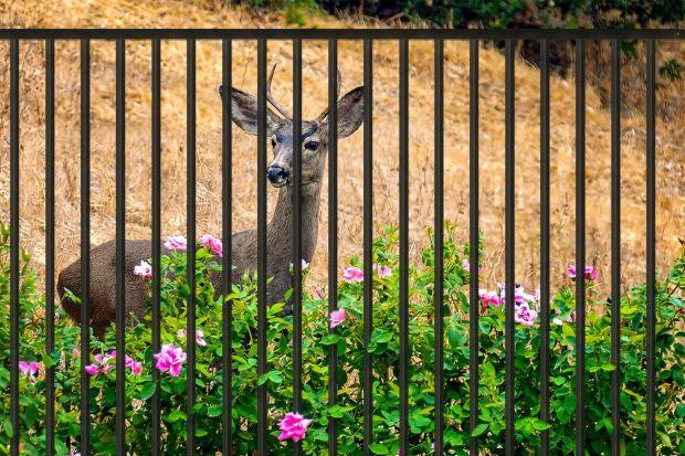 Coraz częściej słyszymy o dzikich zwierzętach przychodzących na tereny zabudowane i to nie tylko na obszarach wiejskich czy położonych w pobliżu lasu. Takich gości możemy spodziewać się już nawet w miastach. Wolno żyjące zwierzęta próbuj�